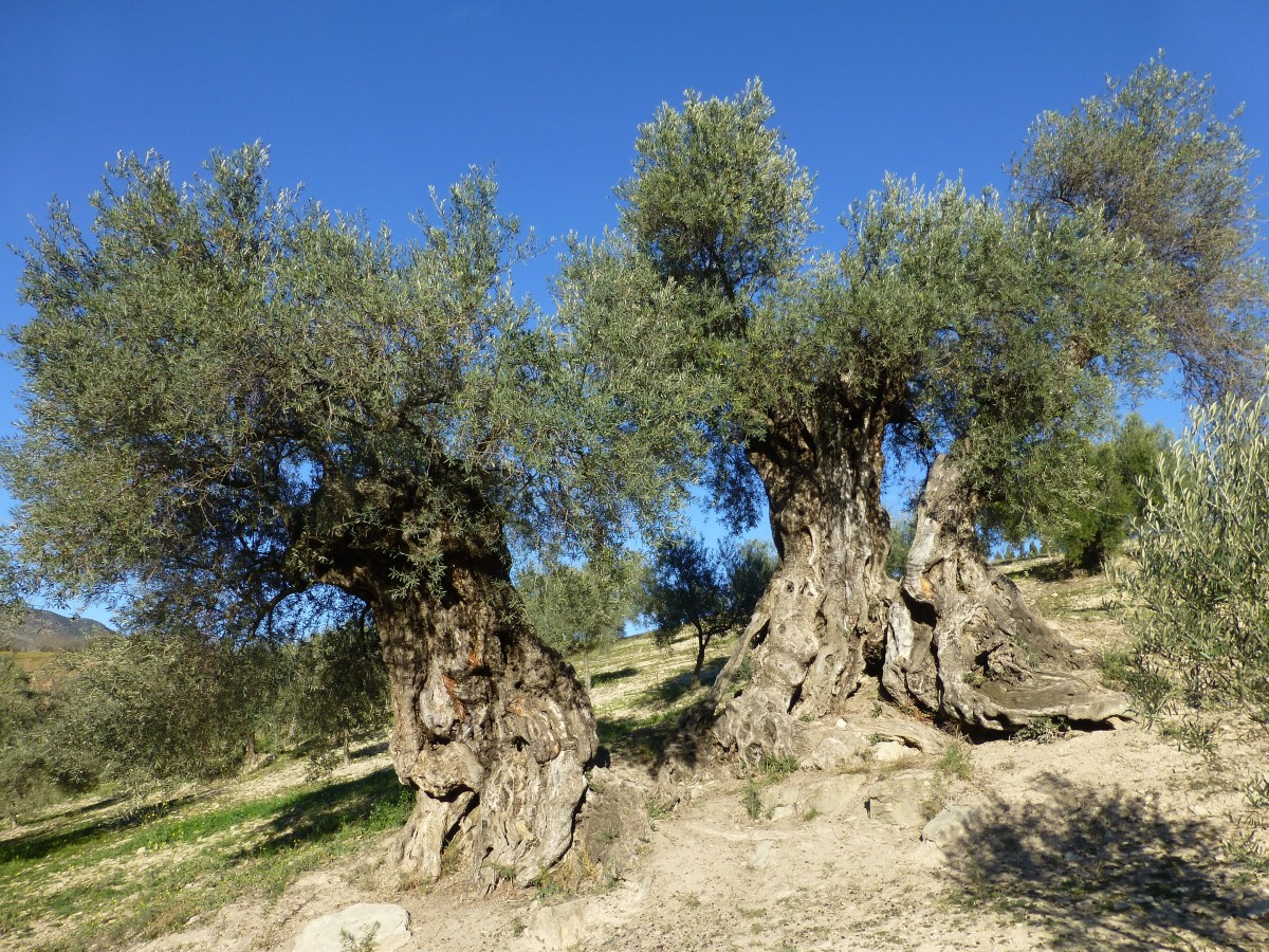 The Millennial Olive of Arroyo Carnicero – the History of Olives in Spain