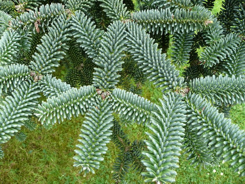 1024px-Abies_pinsapo_04_by_Line1