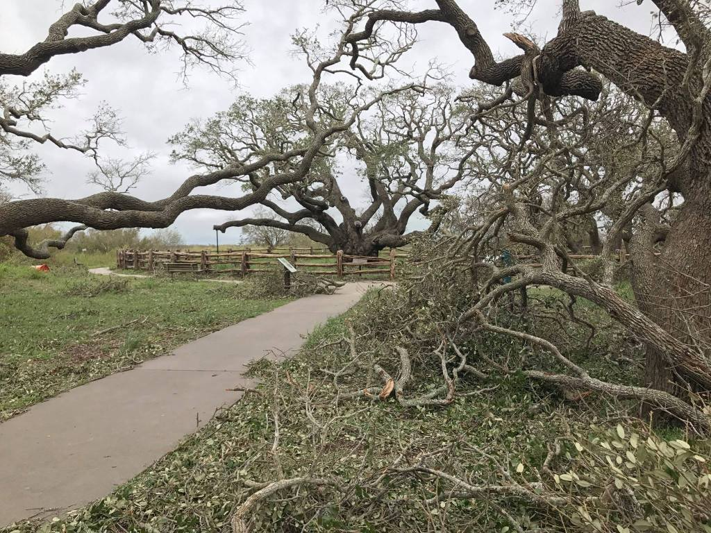 Big_Tree_After_Hurricane_Harvey