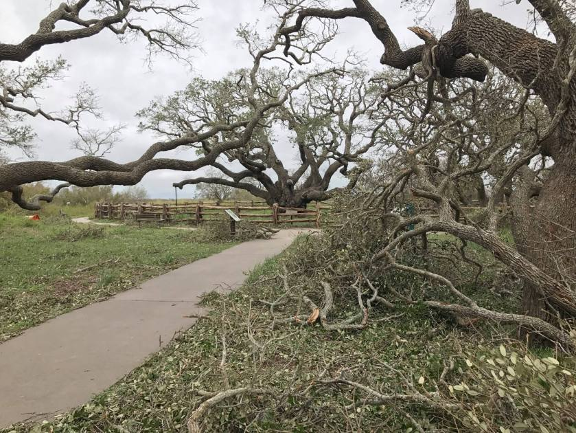 Big_Tree_After_Hurricane_Harvey