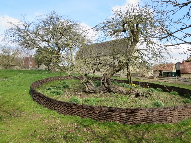 Newtons_apple_tree_at_Woolsthorpe_Manor_Arthurmarris