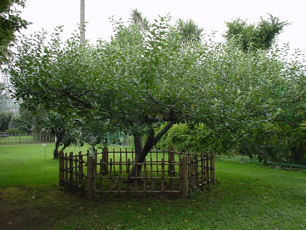 Newton's_apple_tree_in_the_Botanical_Gardens,_the_University_of_Tokyo