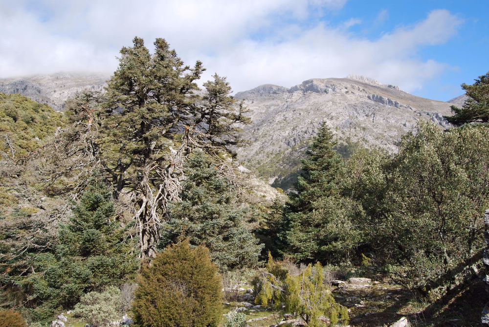 The Mother Tree – El Pinsapo de lasEscaleretas