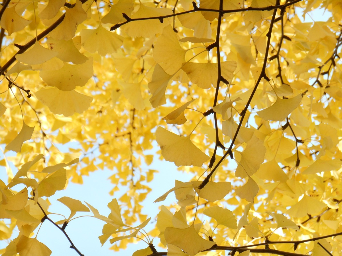 The Oldest Living Thing in Tokyo – The Inverted Ginkgo