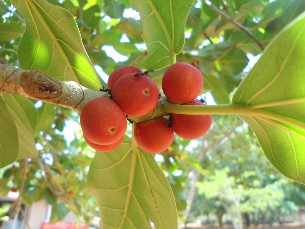 Banyan_fruit_Ficusbenghalensis_IGZoopark_Visakhapatnam