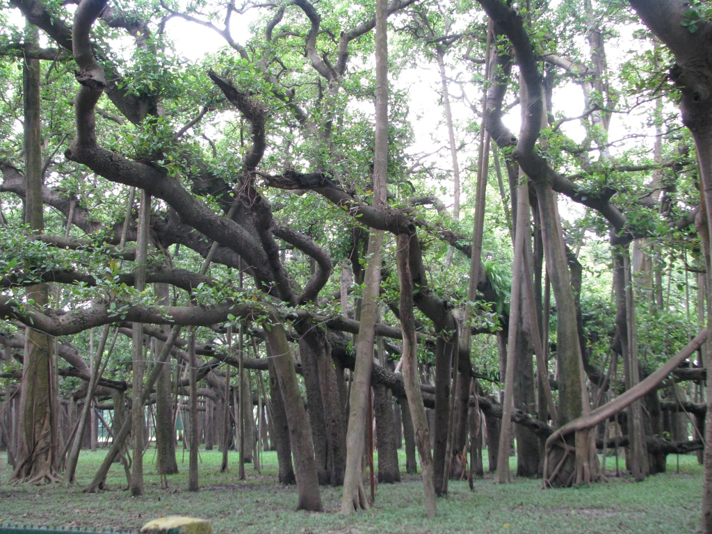 Great_banyan_tree_kol