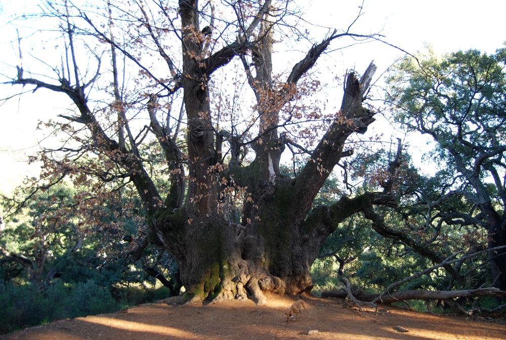 The Holy Chestnut Tree ofIstan