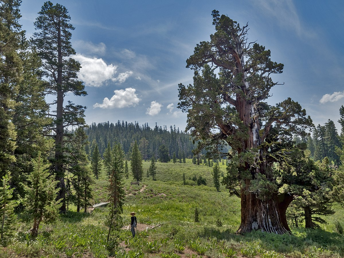 The Bennett Juniper – America's Oldest Juniper Tree