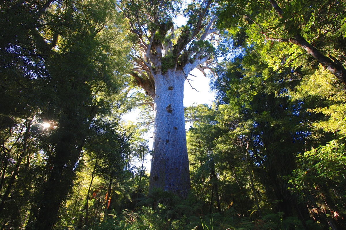The Lord of the Forest – Tane Mahuta
