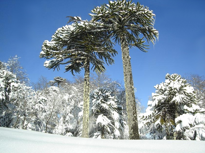 Araucaria_in_Conguillio