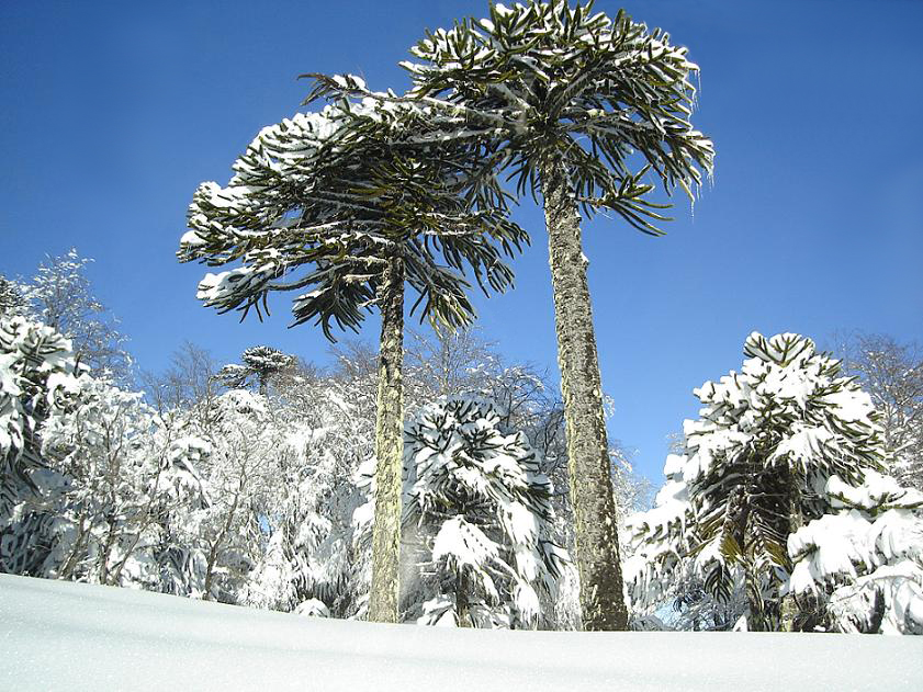 The Not-So-Puzzling History of the Monkey Puzzle Tree