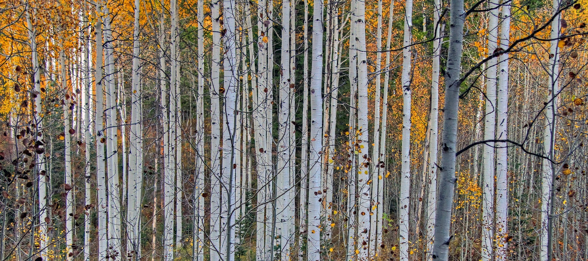 How to Grow Birch Trees images