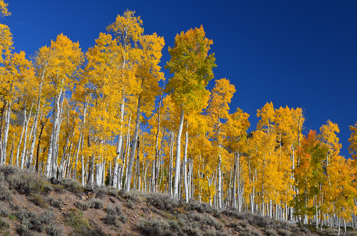 The Oldest Living Thing in the World – The Pando Aspen Tree Colony