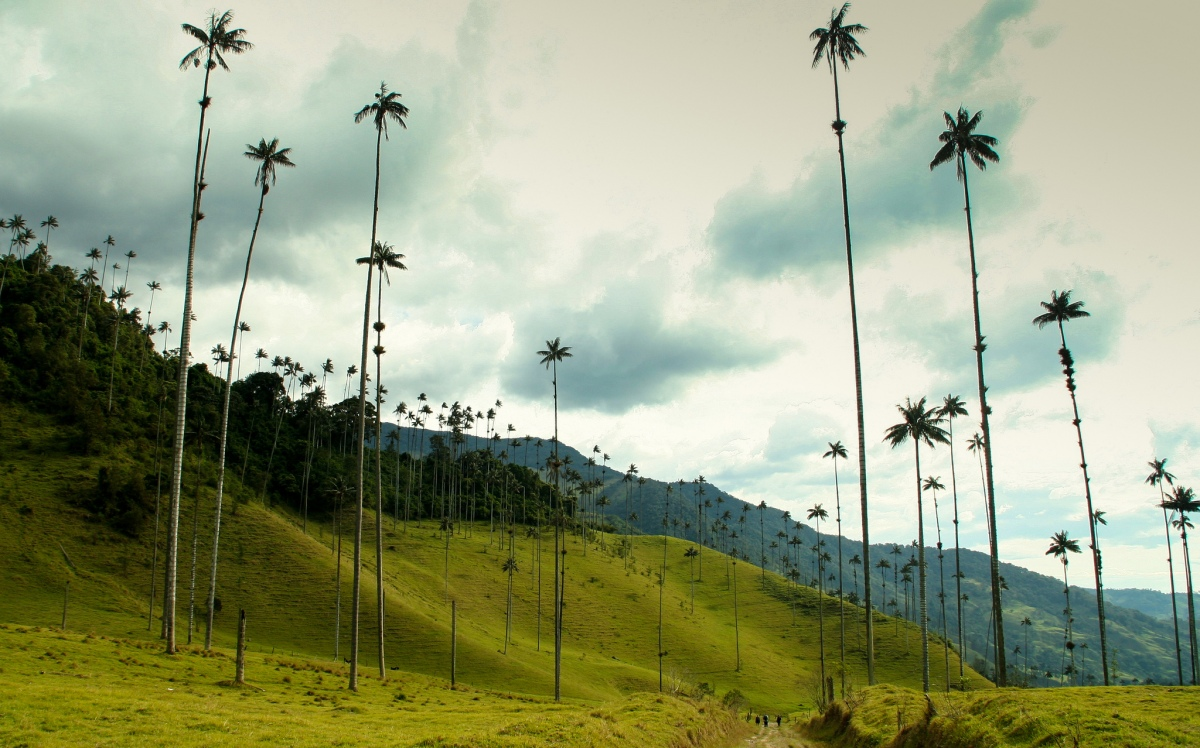 Colombia's Treasure – the Colossal Wax Palms of Cocora Valley