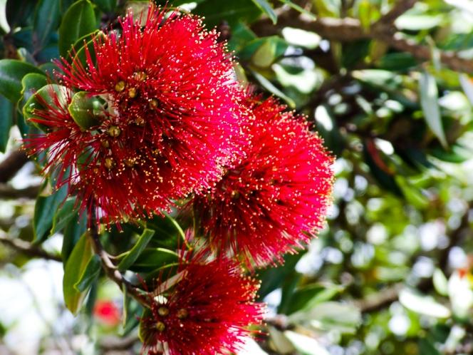 New_Zealand_Pohutukawa_(6004702486)