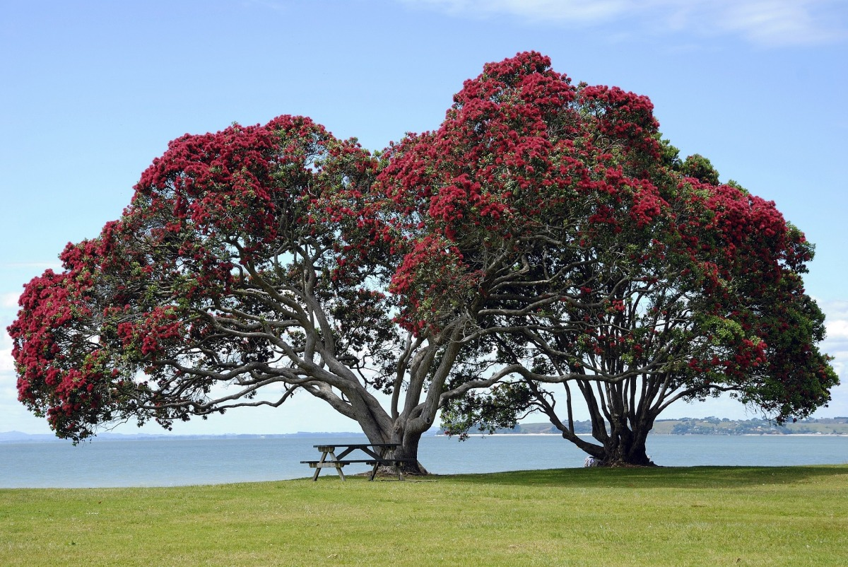 The Kiwi Christmas Tree – New Zealand's Pohutukawa