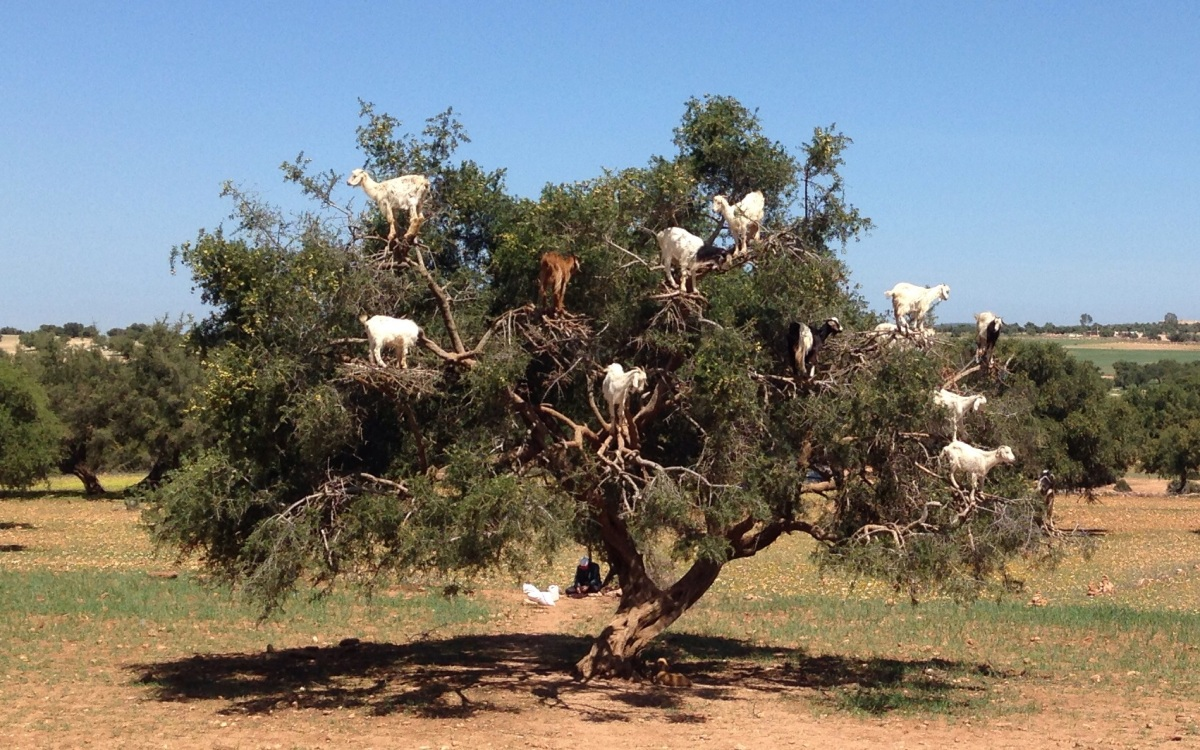 Morocco's Marvel – The Bountiful Argan Trees