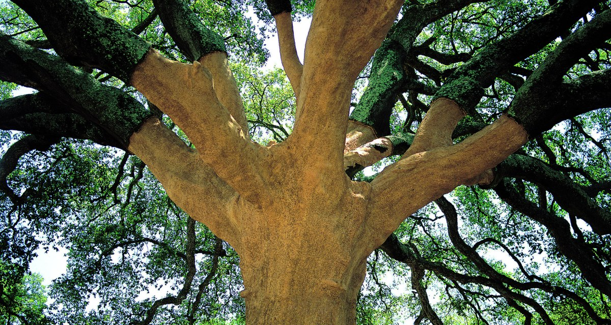 The European Tree of the Year 2018 Competition Nearly Over – CurrentStandings