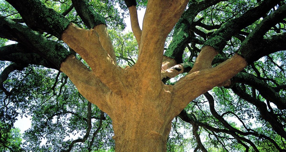 Portugal's Prize Cork Oak – The WhistlerTree