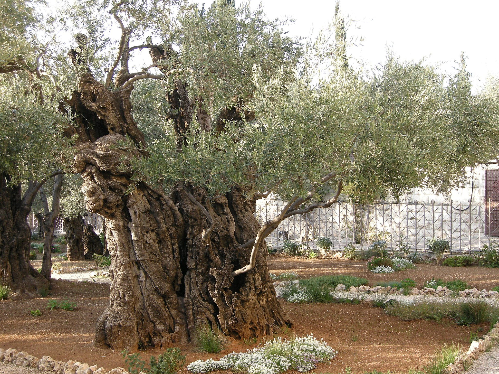 The Biblical Olive Trees – The Garden of Gethsemane | The Treeographer