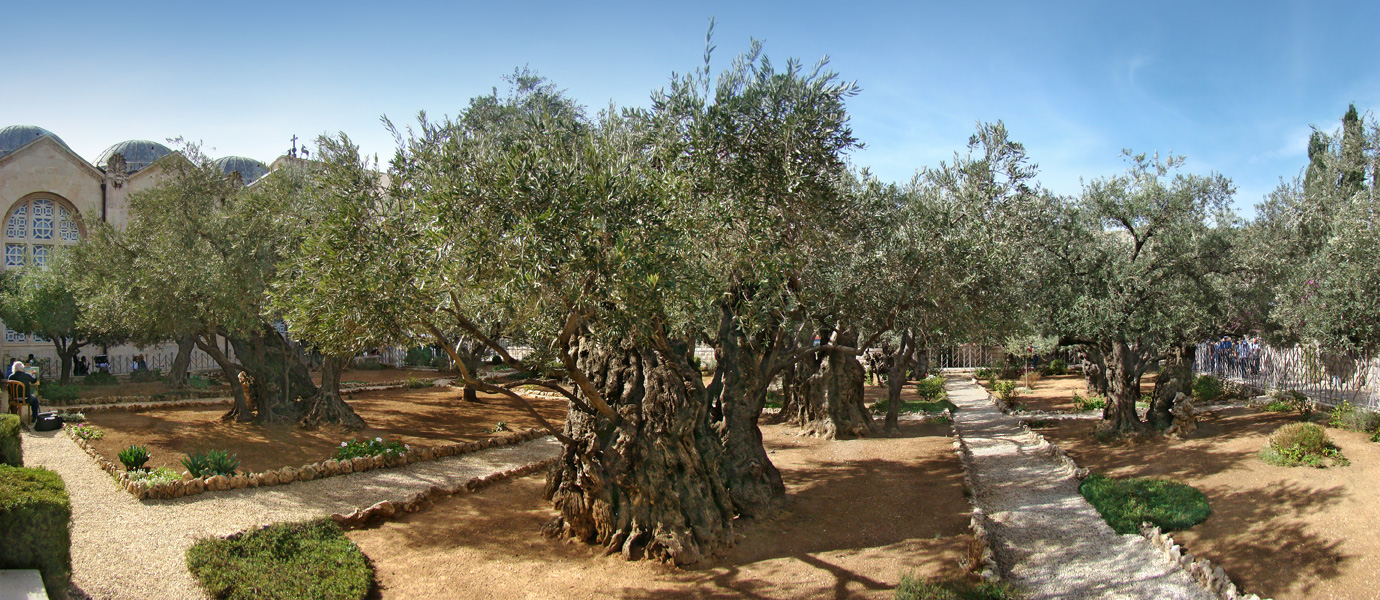 The Biblical Olive Trees \u2013 The Garden of Gethsemane
