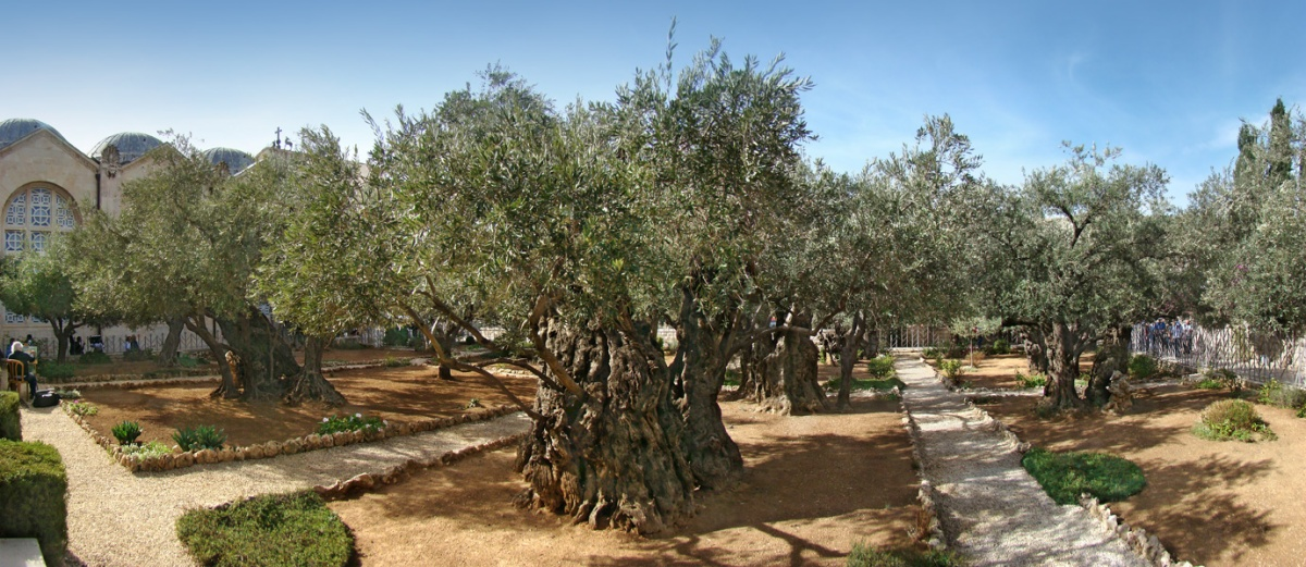 The Biblical Olive Trees – The Garden of Gethsemane