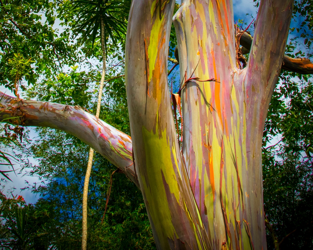 The Philippines' Most Bizarre Tree – The Rainbow Eucalyptus