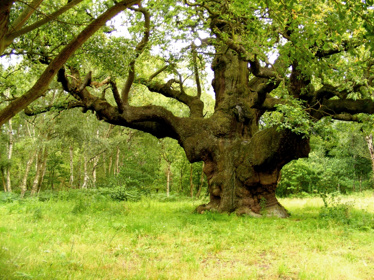 The Major Oak – The Ancient Giant of Sherwood Forest