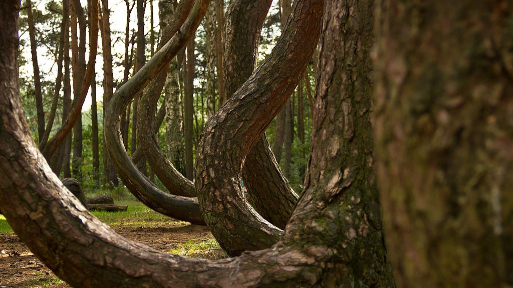 Crooked_Forest_2