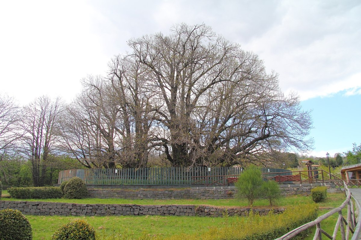 The Oldest and Largest Chestnut Tree in the World – The Hundred Horse Chestnut