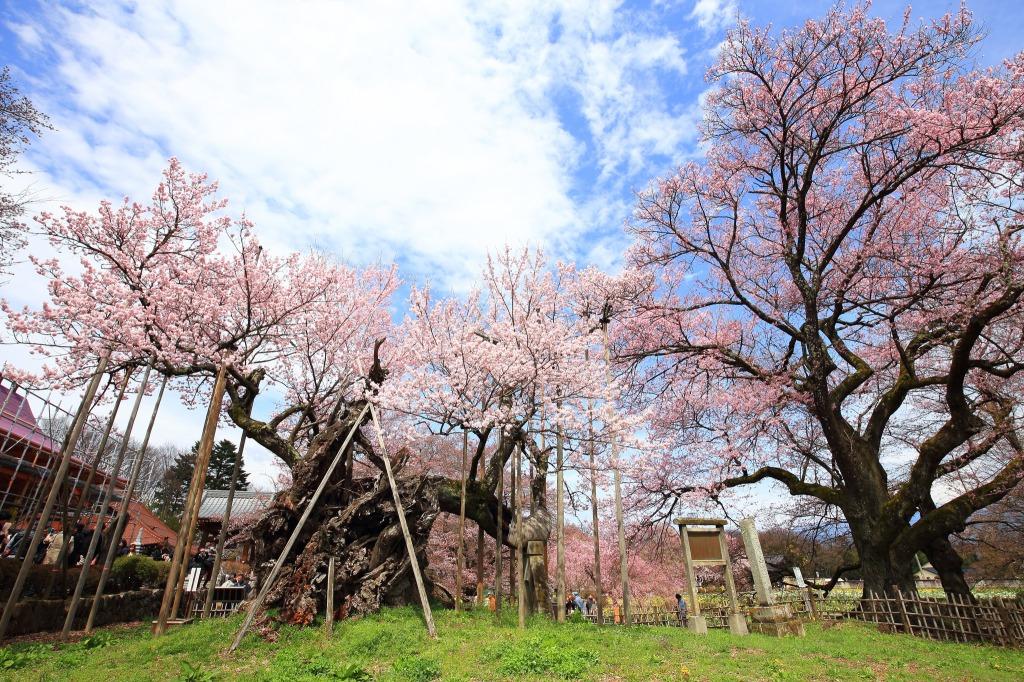 Jindai cherry blossom