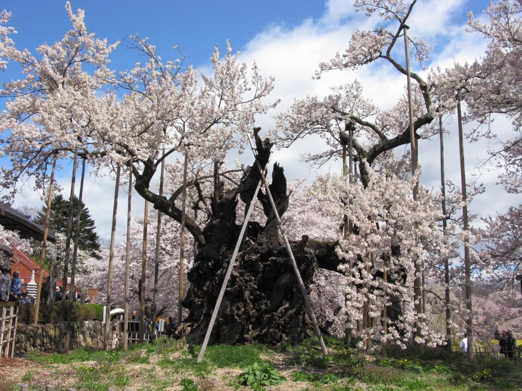 The Oldest Cherry Blossom Tree In Japan Jindai Zakura The