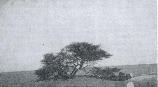 r_-1-305-arbre-du-tenere-1939