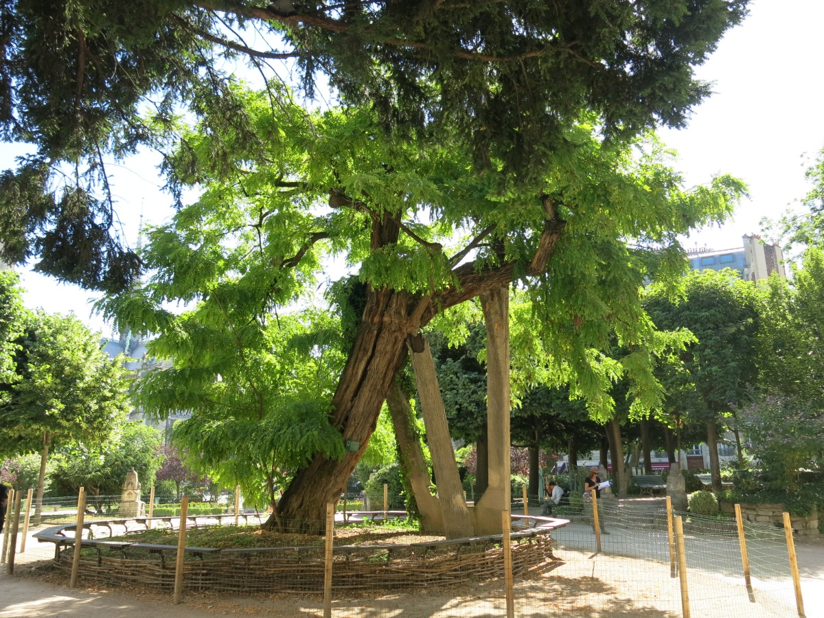 The Oldest Tree in Paris – The Robinia Tree of Square René Viviani
