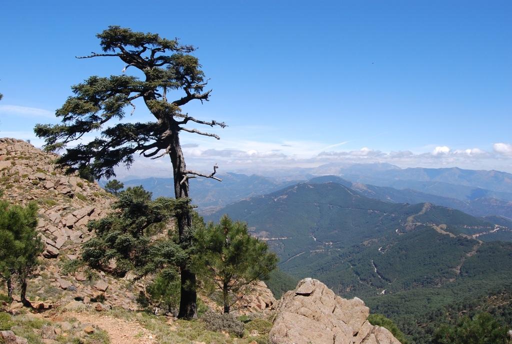 spanish fir sierra bermeja