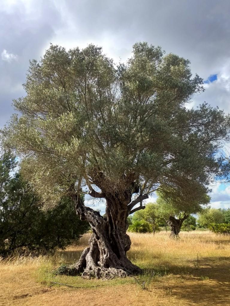 Acebuche wild olive tree