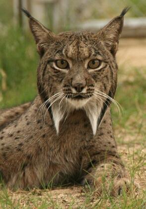 Iberian lynx endangered cat lince iberico
