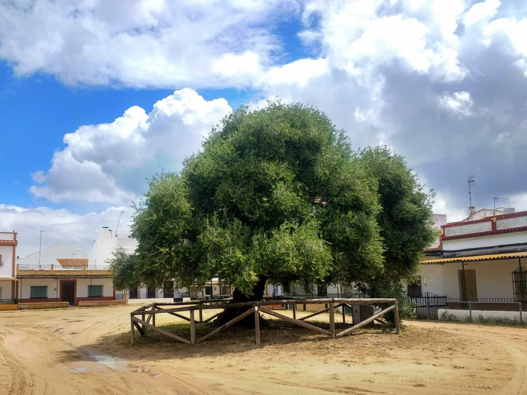 Plaza acebuchal acebuche wild olive tree el rocio