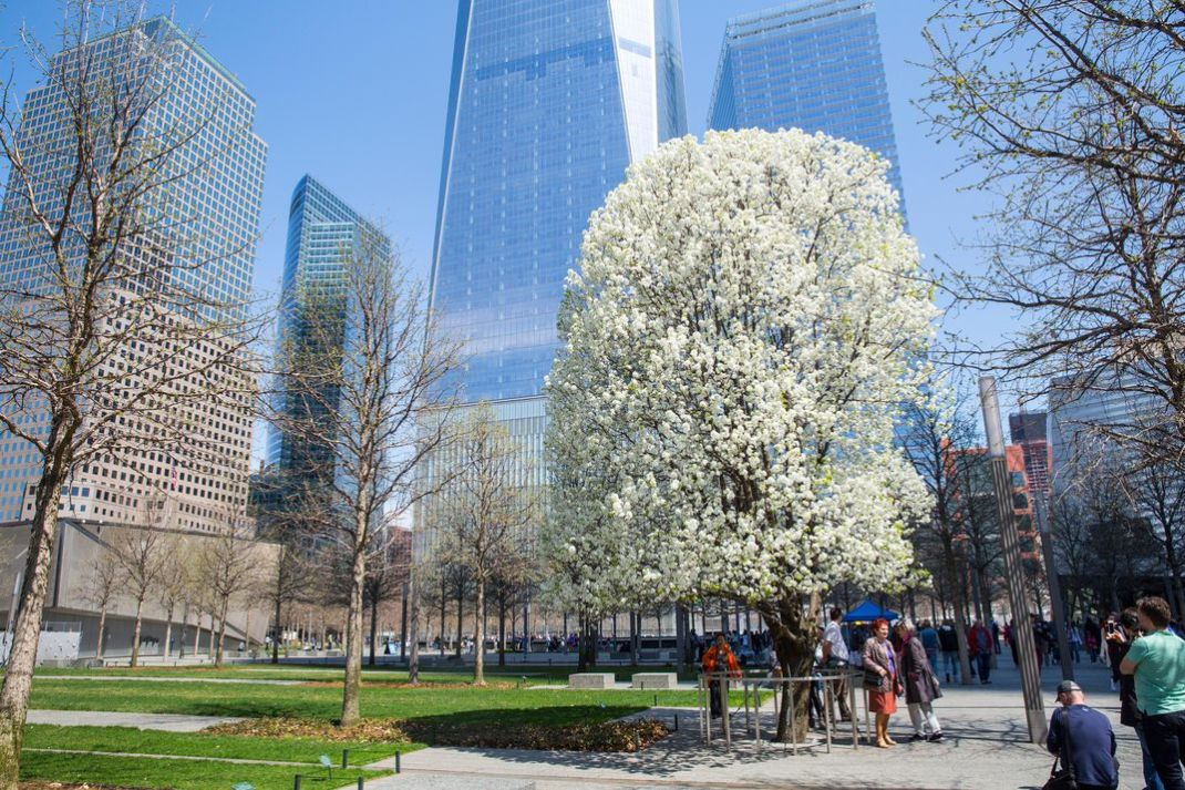 911 survivor tree memorial bloom new york city.jpg