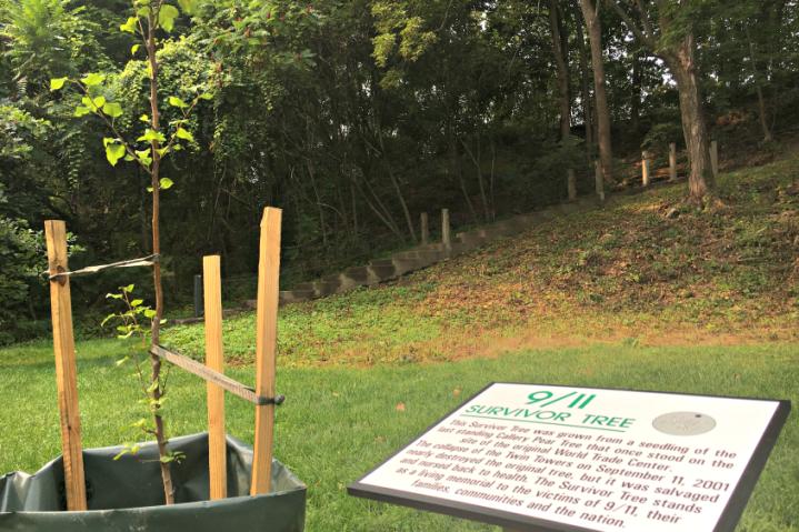 911 survivor tree seedling.png