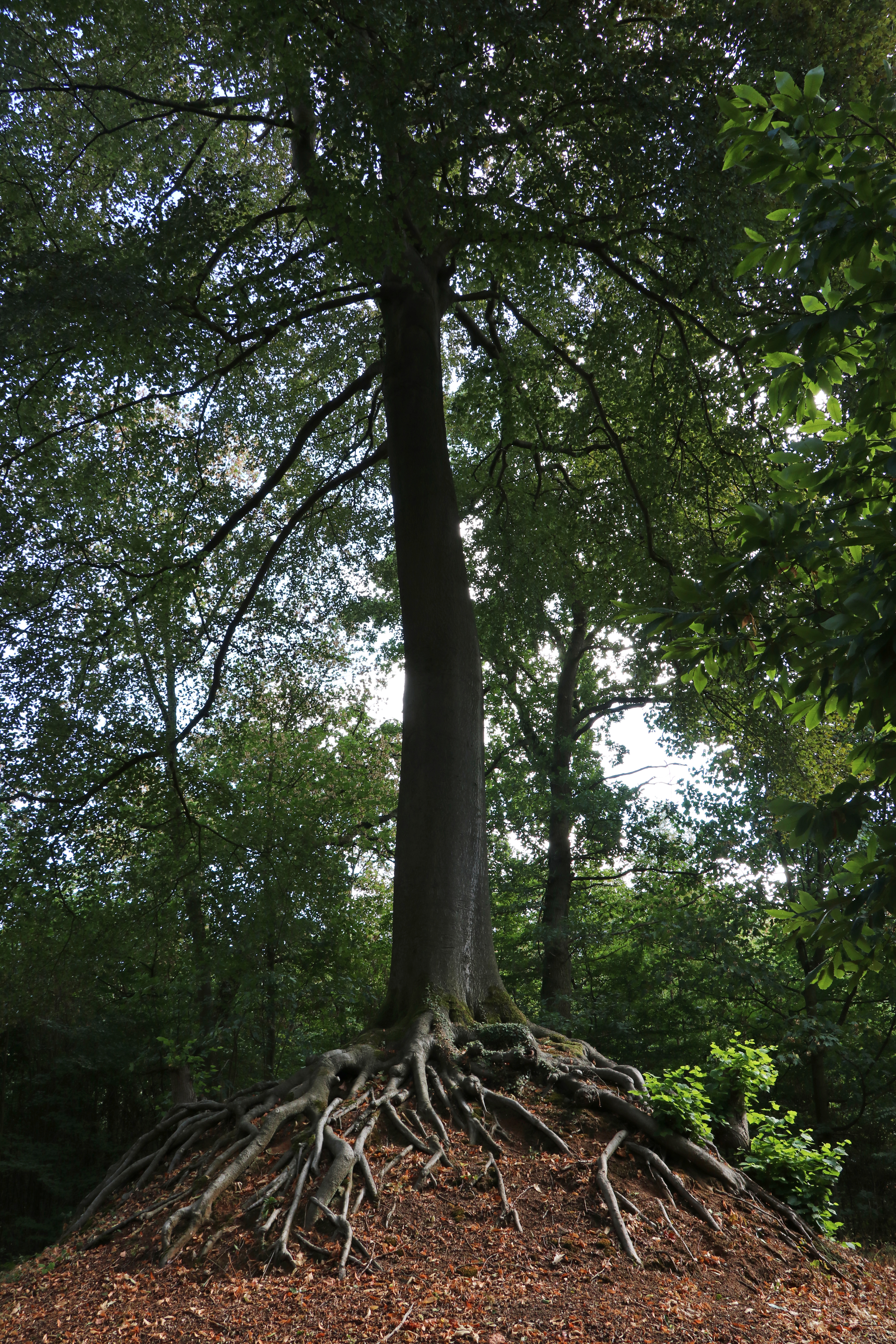 Our Lady Tree of Lummen belgium European tree of the year 2019