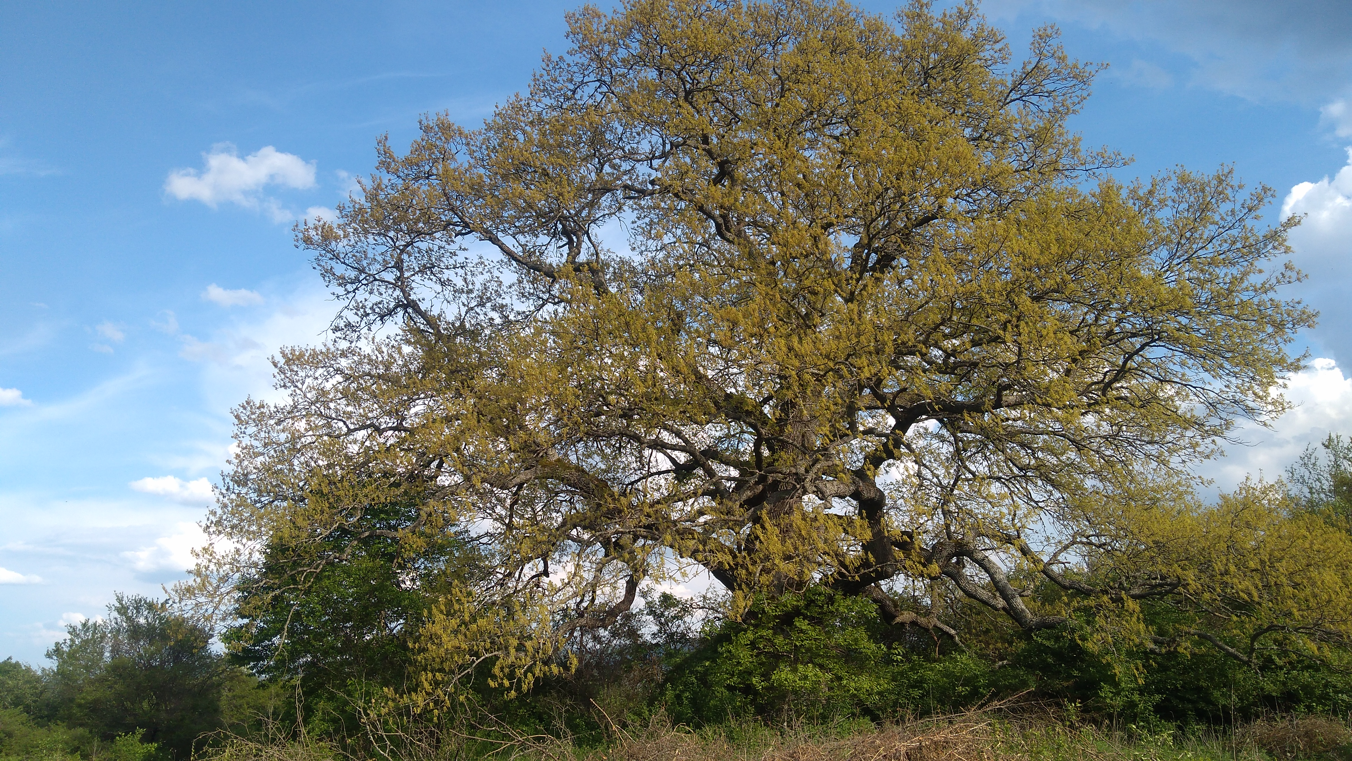 Turkey oak near rani lug village bulgaria european tree of the year 2019