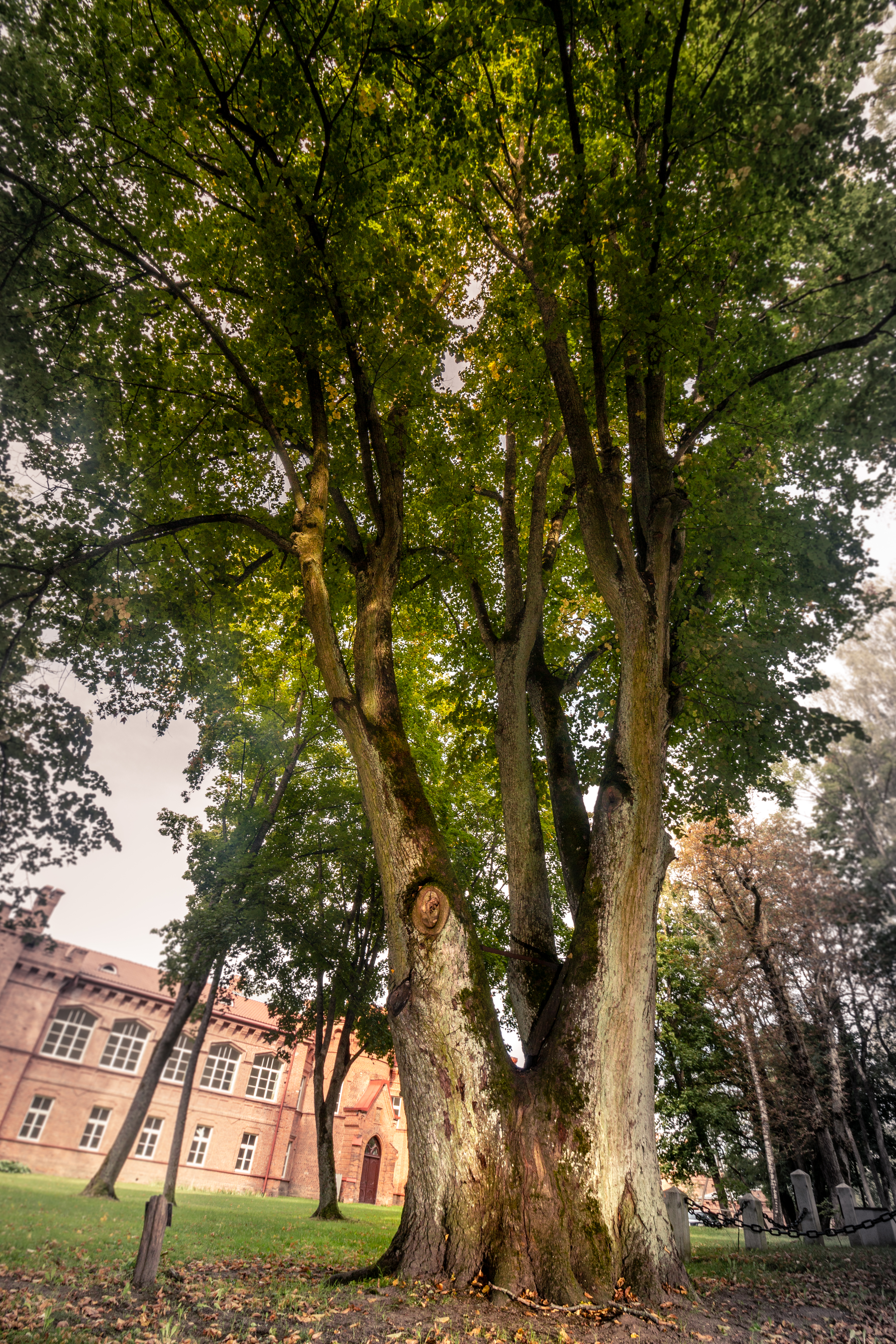 Raudone Castle Lime lithuania European tree of the year 2019