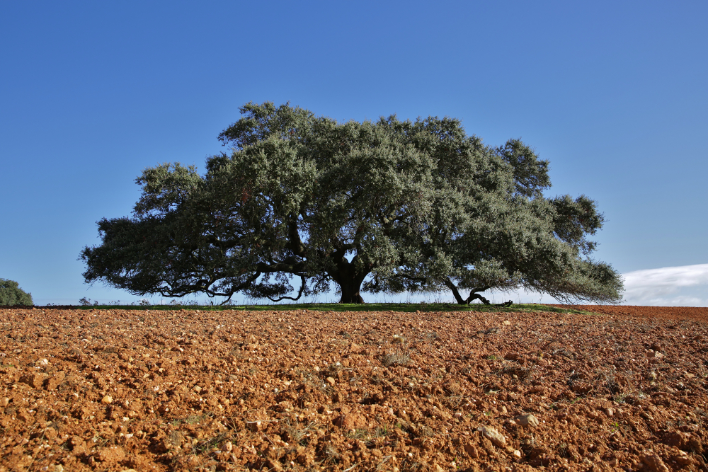 secular holm oak from Monte Barbeiro portugal European tree of the year 2019