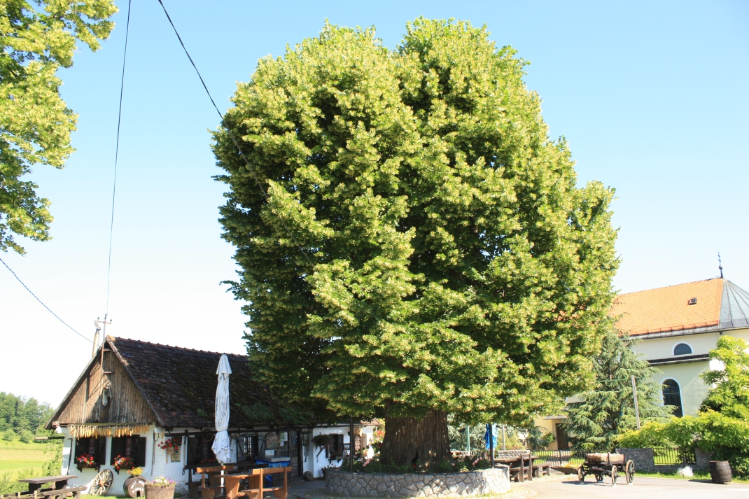 Gubec linden croatia european tree of the year 2019