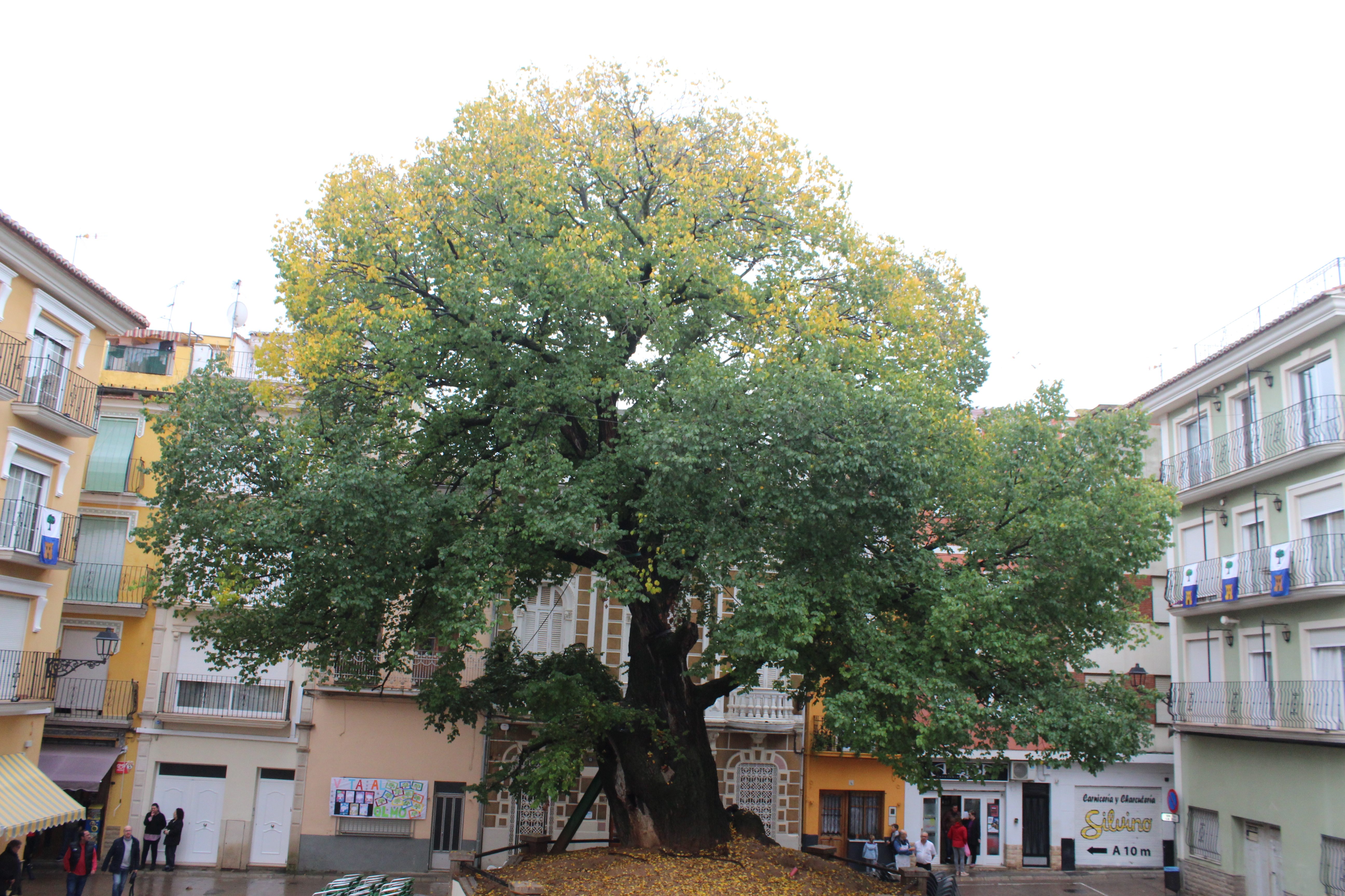 Elm of Navajas spain european tree of the year 2019