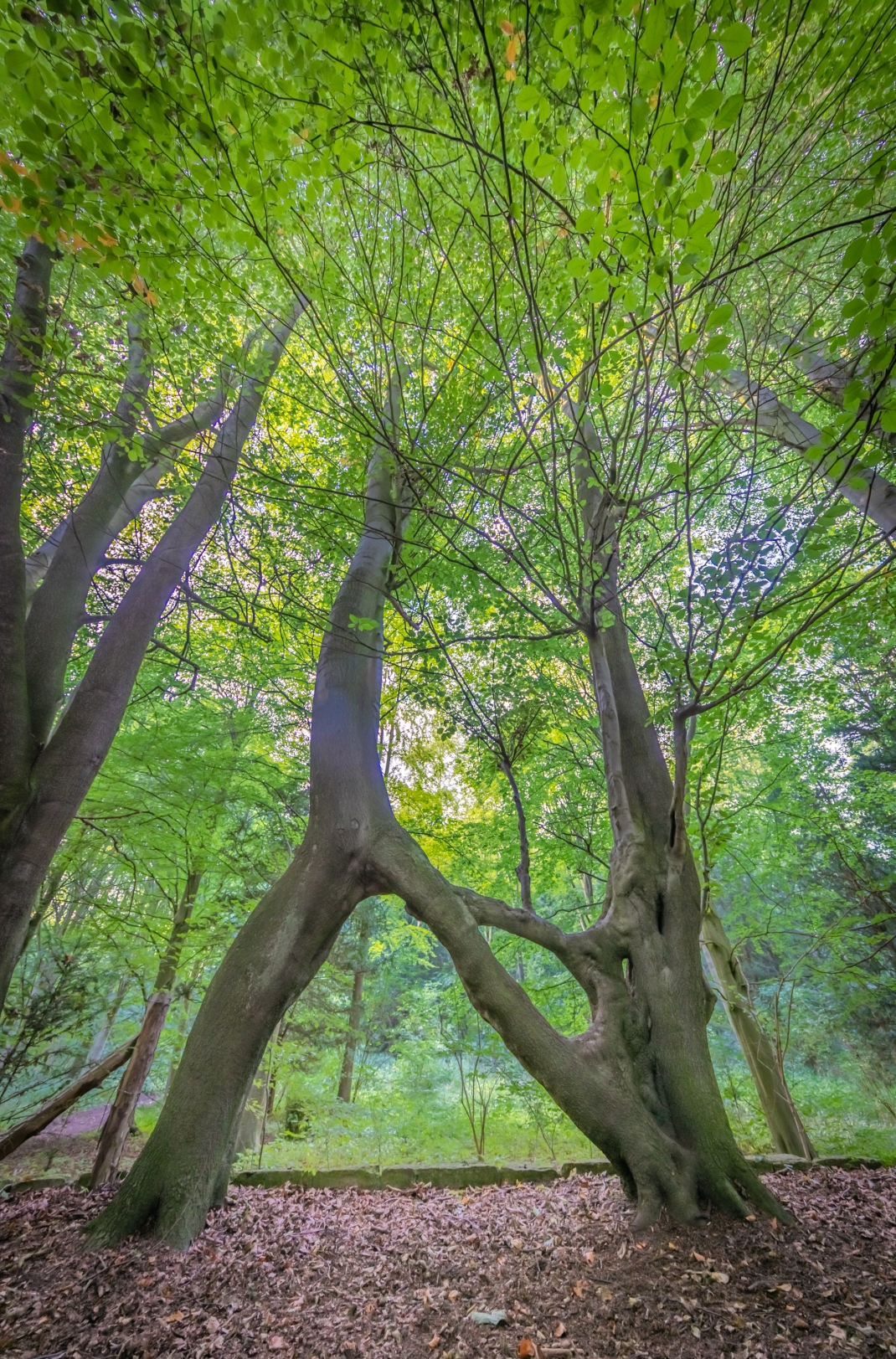 nellie's tree United Kingdom UK European tree of the year 2019